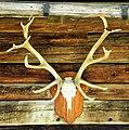 Antlers - Flickr - Stiller Beobachter.jpg