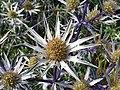 Apiales - Eryngium bourgatii - 6.jpg