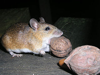Large Japanese field mouse Species of rodent