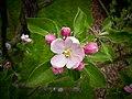 Apple blossom Apfelblüte 02.jpg