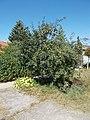 Apple tree, 2019 Dunaharaszti.jpg