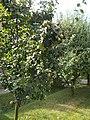 Apple tree, 2019 Szentes.jpg