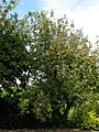 Apple trees by the roadside - geograph.org.uk - 564256.jpg