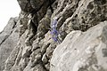 Aquilegia dinarica leg P.Cikovac Jastrebica ridge Mt Orjen 1710 m a.s.l.jpg