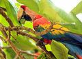 Ara macao -Costa Rica-8 (1).jpg