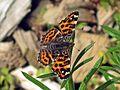 Araschnia levana (Nymphalidae sp.), Elst (Gld), the Netherlands - 2.jpg