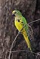 Aratinga aurea -Dourados, Mato Grosso do Sul, Brazil-8.jpg