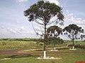 Araucária ou Pinheiro do Paraná(Araucaria angustifolia) na Rodovia Santa Rosa de Viterbo a Cajuru - panoramio.jpg