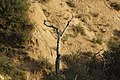 Arbol seco en monte de batres - panoramio.jpg