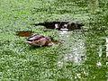 Arboretum - 'Land unter' nach Gewittersturm 2012-07-03 17-49-49 (P7000).JPG