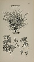 Arboretum et fruticetum britannicum, or - The trees and shrubs of Britain, native and foreign, hardy and half-hardy, pictorially and botanically delineated, and scientifically and popularly described (14783583262).jpg
