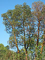 Arbutus menziesii Big Sur.jpg