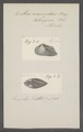 Arca navicularis - - Print - Iconographia Zoologica - Special Collections University of Amsterdam - UBAINV0274 076 04 0008.tif