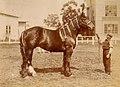 Archivo General de la Nación Argentina 1910 Buenos Aires, Sociedad Rural Argentina. Primer premio (Rom Blossom, lote 690) Haras Jorge Bell.jpg