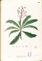 Ardisia pyramidalis Blanco1.166-original.png