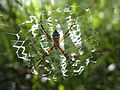 Argiope argentata immature female on stabilimentum IMG 4281.JPG