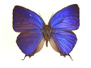 Arhopala - Anthelus bushblue (Arhopala anthelus: anthelus group)