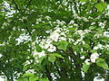 Aria alnifolia 3.JPG