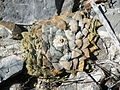 Ariocarpus retusus `minimus` (5711034824).jpg