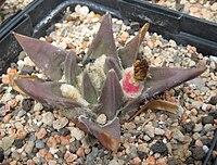 Ariocarpus trigonus 01.jpg