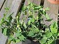 Aristolochia paucinervis (17310376248).jpg