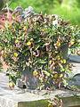 Aristolochia sempervirens (19115142081).jpg