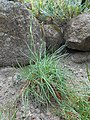 Armeria maritima ssp. elongata 2017-06-25 3130.jpg