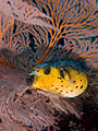 Arothron nigropunctatus (Black-spotted toadfish).jpg