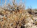 Artemisia arbuscula (28471015181).jpg