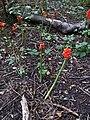 Arum maculatum (36635406405).jpg