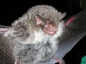 Ashy-gray tube-nosed bat.jpg