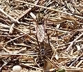 Asilidae, Robberfly (33063576556).jpg