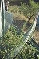 Asparagus acutifolius dans l'Agave-3196.jpg