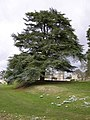 Atlantic Cedar, Easton Walled Gardens - geograph.org.uk - 1174358.jpg