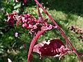 Atriplex hortensis var. rubra 2021-09-01 9975.jpg