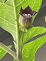 Atropa belladonna L. longipedicellate flower.jpg