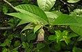 Atropa belladonna RF.jpg