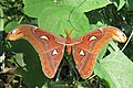 Attacus atlas - Atlas moth - at Peravoor (23).jpg