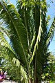 Attalea cohune - Naples Botanical Garden - Naples, Florida - DSC09657.jpg