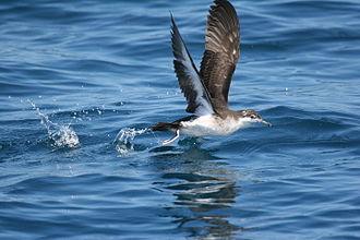 Audubon's shearwater - off Cape Hatteras, North Carolina, USA.