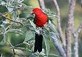 Australian King-Parrot (Alisterus scapularis) (30555847154).jpg
