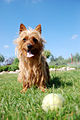 Australian terrier playing with ball.jpg
