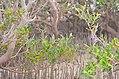 Avicennia marina - Nabq by Hatem Moushir 7.JPG