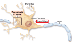 Axon hillock - red labeled is pointing directly at the axon hillock.