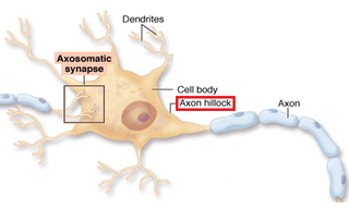 Axon hillock Part of the neuronal cell soma from which the axon originates