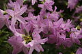 Azaleas-flowers-spring - West Virginia - ForestWander.jpg