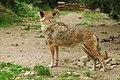 BOREON Un Loup. (2709690821).jpg