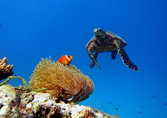 Marine wildlife of Baa Atoll - Underwater landscape at Baa Atoll, showing a hawksbill turtle and a Maldivian clownfish in its anemone