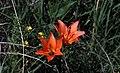 Badlands Flowers - Lilium lancifolium - Badlands National Park.jpg