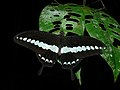 Banded Swallowtail (Papilio demolion) (6707402989).jpg